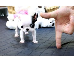 Sweety French Bulldogs for your house