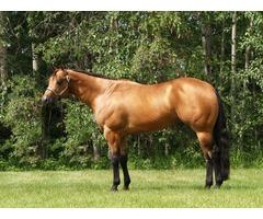 American Quarter Horse for sale | free-classifieds-usa.com