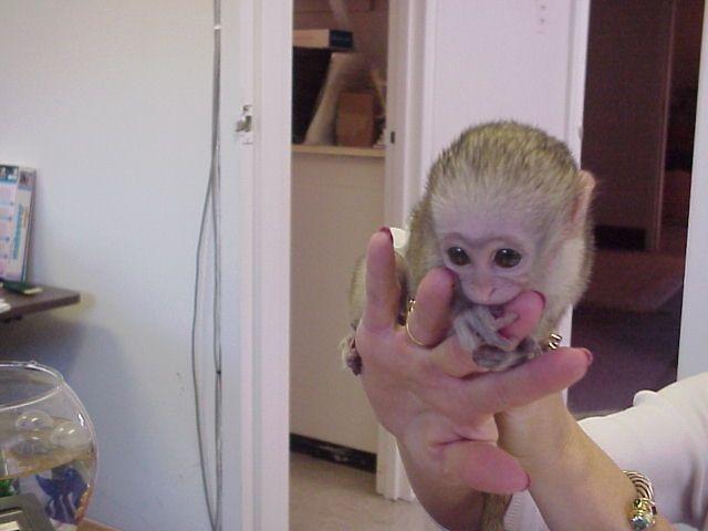 Cutest Capuchin  monkeys to all pets lovers | free-classifieds-usa.com
