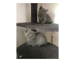 Delightful high quality Blue Bsh Kittens Boys And Girls | free-classifieds-usa.com