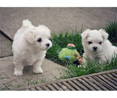 Two Trained Maltese Puppies available