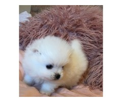 Stunning Pomeranian puppies males and females