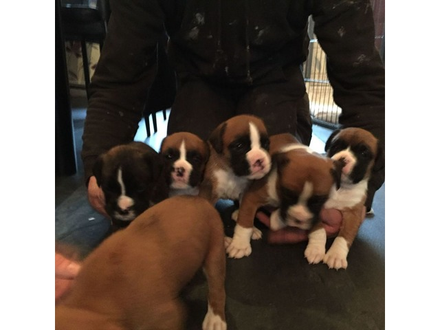 Beautiful Boxer Puppies From Loving Family Home Animals Bicknell