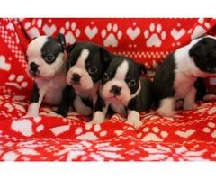 Registered Boston Terrier Puppies