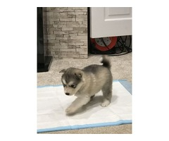 alaskan Malamute Pups Now Available To View