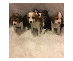 Beagle Puppies **ready To Go Now**