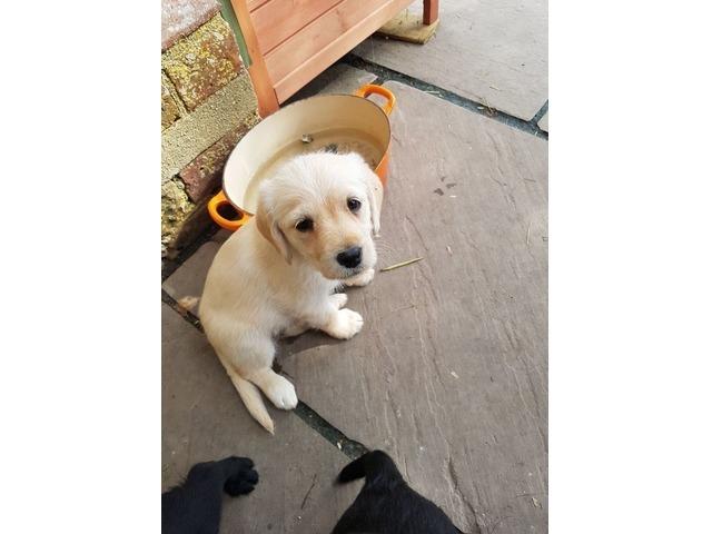 Adorbale Male And Female Labrador Puppies Animals Dallas Texas