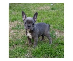 SX3 M/F French Bulldog  Puppies Available Now