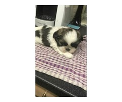 COX2 M/F Shih Tzu  Puppies Available Now