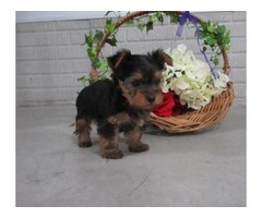 tea cup   Yorkie Puppies Available Now