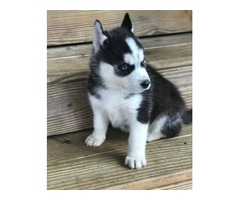 Handyman Alaskan Malamute Puppies Available Now