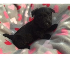 High-class Scottish Terrier Puppies For Sale