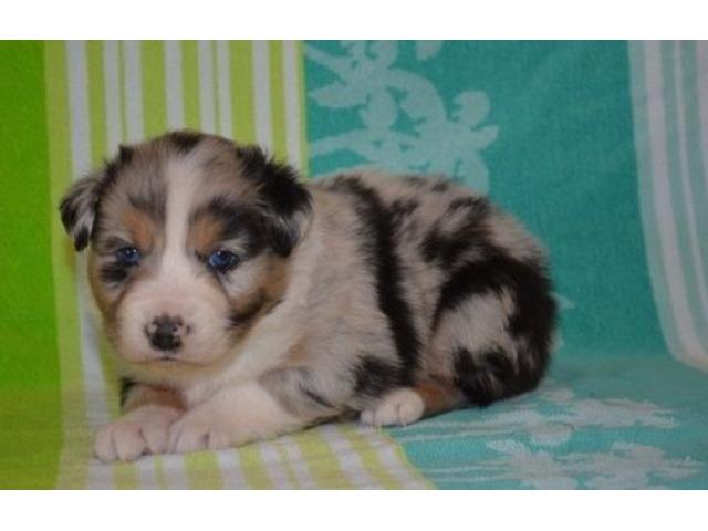 Terrific Australian Shepherd Puppies Available For Sale Animals