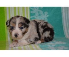 Terrific Australian Shepherd Puppies Available For Sale