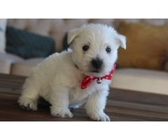 Exceptional West Highland White Terrier Puppies Ready For Sale