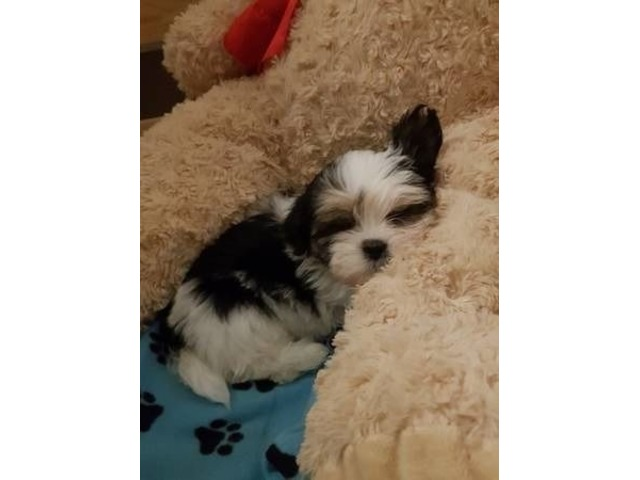 Prescott Both Mf Shih Tzu Puppies Available Now Animals