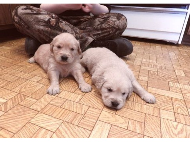 Honest Golden Retriever Puppies Avail For Sale Animals Houston