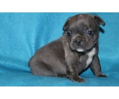 Blue French Bulldog AKc Reg Pupps For Sale