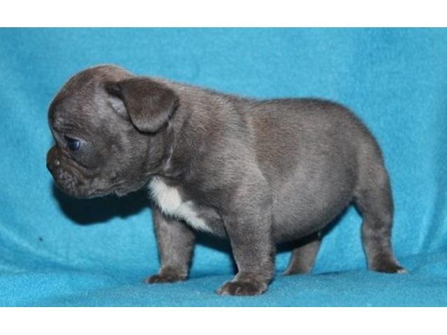 Stunning Litter Of French Bulldog Pups Animals Stamford