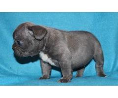 Stunning Litter Of French Bulldog Pups