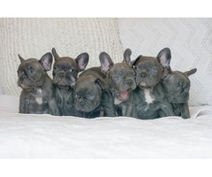 Little Rock, BOTH M/F French Bulldog  Puppies Available Now