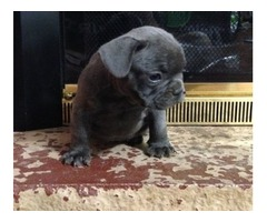 Rockford BOTH M/F French Bulldog  Puppies Available Now