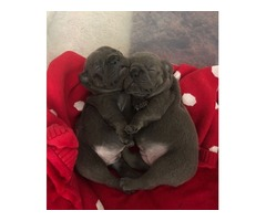 Respectful French Bulldog Puppies Available For Sale