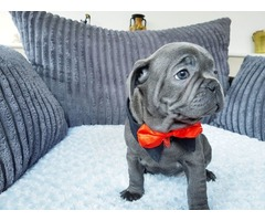 Fabulous French Bulldog Puppies Available For Sale