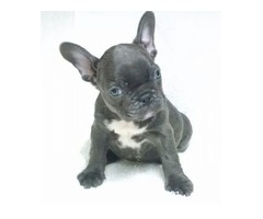 Fantastic French Bulldog Puppies Available For Sale