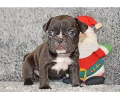 Outstanding French Bulldog Puppies Available For Sale
