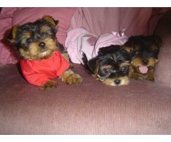 AKC reg, Yorkshire Terrier - Yorkie (short legs and baby faces )