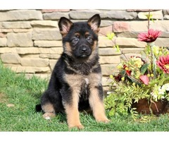 ckc german shepherd pups