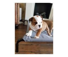 Healthy English Bulldog Puppies Available