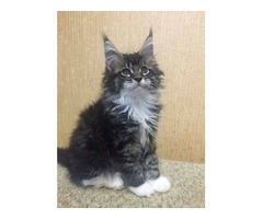 Adorable maine coon kittens available for sale