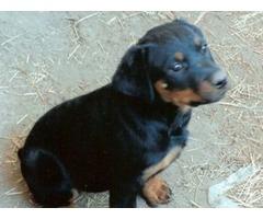 purebread Rottwieler puppies