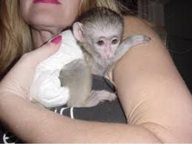 Home Trained Capuchin monkeys for adoption | free-classifieds-usa.com