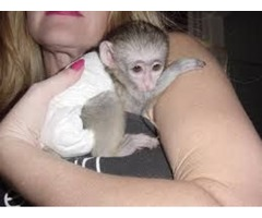 Home Trained Capuchin monkeys for adoption