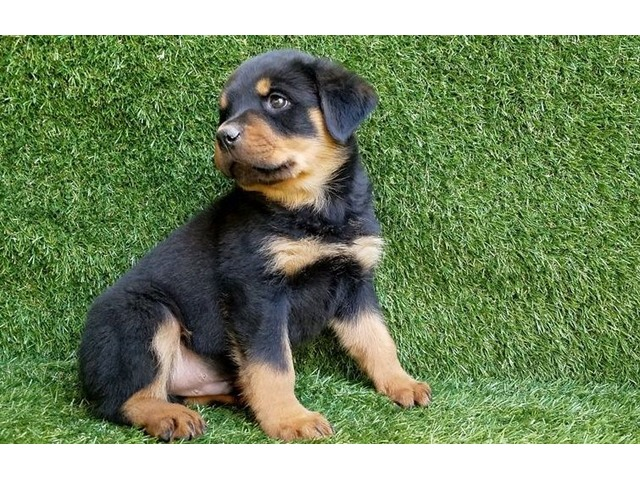 Pure Breed German Rottweiler Puppies For Sale Animals Colorado