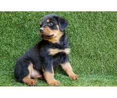 Pure Breed German Rottweiler Puppies For Sale.