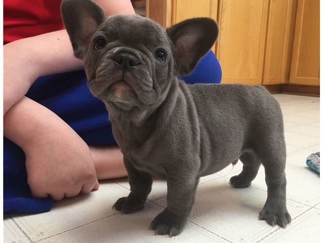 Blue French Bulldog Puppies Available Now. - Animals ...