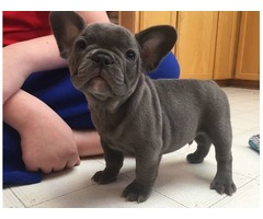 Blue French Bulldog Puppies Available Now.