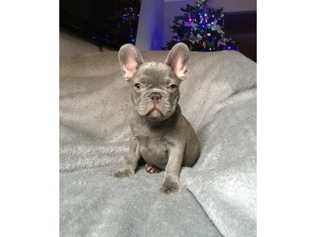 Gorgeous French Bull dog puppies for sale! | free-classifieds-usa.com