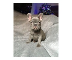 Gorgeous French Bull dog puppies for sale!