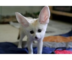 Fennec Fox babies Available For Sale