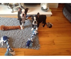 Stunning Boston Terrier Puppies Available