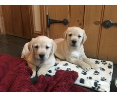 Perfect Labrador puppies for good homes