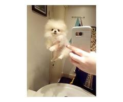 Very special super tiny XXXS small genuine teacup Pomeranian boy