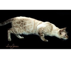 Bengal Kittens  | free-classifieds-usa.com