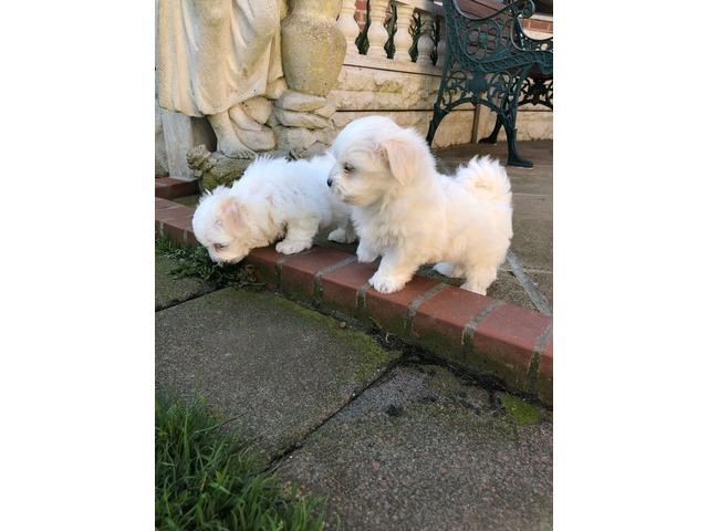 Maltese Puppies For Adoption Animals Barberville Florida